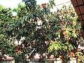 Asoka Plant.JPG