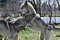 Aspen and Sparrow, Gray Wolves, Wolf Park (51096445818).jpg