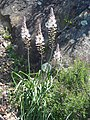 Asphodelus albus Habitus 2009March28 SierraMadrona.jpg