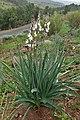 Asphodelus ramosus kz07.jpg