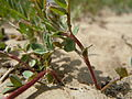 Astragalus cibarius (5882193287).jpg