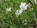 Astragalus miser (3626413970).jpg