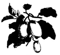 Aubergine blanche Vilmorin-Andrieux 1883.png