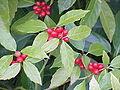 Aucuba japonica2.jpg