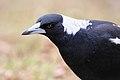 Australian Magpie, Majura Nature Reserve, ACT.jpg