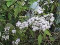 Austroeupatorium inulifolium-roadside-2-yercaud-salem-India.JPG