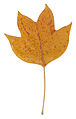 Autumn Tulip Tree Leaf.jpg