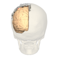 BA312 - Primary Somatosensory Cortex - posterior view - with homunculus.png