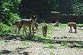 BOREON Un loup. (2710493864).jpg
