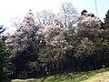 Babanosakura 01.jpg