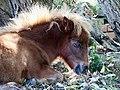 Baby-Pony (29386778986).jpg