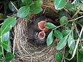 Baby Birds 3 Days Old (3623460770).jpg