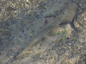 Salmo trutta fario - Well camouflaged riverine brown trout in a small stream