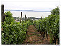 Badacsony vines and Balaton (4373448178).jpg
