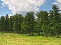 Bakaivka Forest.JPG