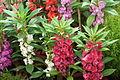 Balsam flower at lalbagh7353.JPG