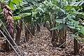 Banana orchard, Macizo de Teno, Tenerife 03.jpg