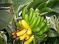 Bananas in Iceland.jpg