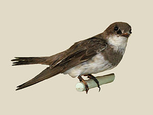 Banded martin - specimen at Nairobi National Museum
