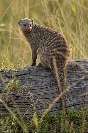 Banded mongoose - Maasai Mara, Kenya