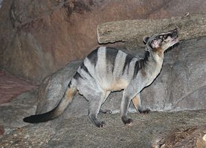 Hemigalinae - Banded palm civet (Hemigalus derbyanus)