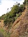 Banksia integrifolia L.f. (AM AK288758-2).jpg