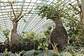 Baobab and Bottle Tree Garden, Flower Dome, Gardens by the Bay, Singapore - 20120712.jpg