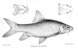 <i>Labeobarbus intermedius</i> species of fish