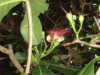 Barringtonia asiatica (flower).jpg