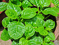 Basella alba leaves 26052014.jpg