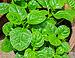 Basella alba leaves 26052014.jpg