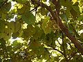 Bauhinia foveolata ♂ (4159050789).jpg