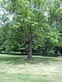 Baum am Haupteingang.jpg