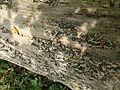 Baumschwämme auf Totholz.jpg
