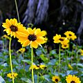 Beach Sunflowers (5622483430).jpg
