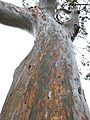 Beautiful Eucalyptus Trees with green bark.jpg