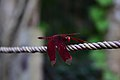 Beautiful red dragonfly in Assam, India.jpg