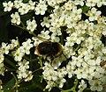 Bee (28082459946).jpg