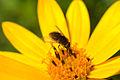 Bee Fly (Sparnopolius confusus) (15148167776).jpg