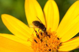 <i>Sparnopolius confusus</i> species of insect