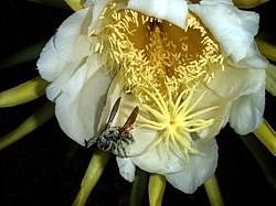 An image used on the Wikipedia entry for pollination.