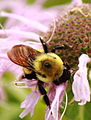 Bee on a flower (7414283018).jpg