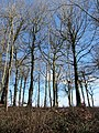 Beech and Blue Sky - March 2012 - panoramio.jpg