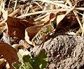 Beefly Bombyliidae (32894797976).jpg