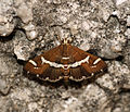 Beet Webworm Moth (Spoladea recurvalis) (4990715774).jpg