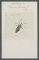 Beharus - Print - Iconographia Zoologica - Special Collections University of Amsterdam - UBAINV0274 041 05 0003.tif