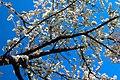 Beheshte Zahra Cemetery عکس شکوفه های بهاری بهشت زهرا- تهران.jpg