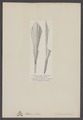 Belemnites - Print - Iconographia Zoologica - Special Collections University of Amsterdam - UBAINV0274 005 09 0031.tif