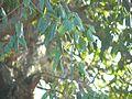 Berchemia discolor-Kruger-NP leaves.jpg