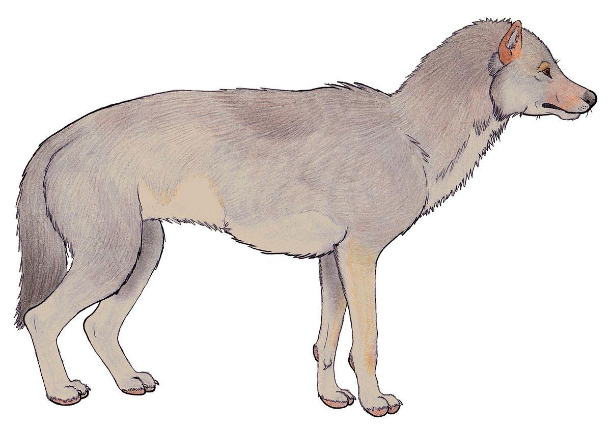 Grey wolf anatomy